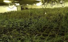 Incautadas 3.700 plantas de marihuana y tres detenidos en Elgoibar