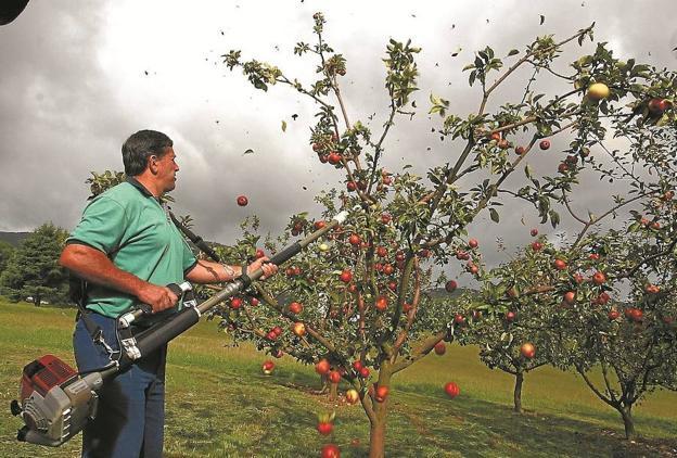 Recogiendo manzanas con una 'kizkia' en la finca Zubieta, en una imagen de archivo. / MIKEL FRAILE