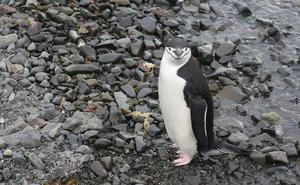 La vida prospera en la Antártida gracias al excremento de pingüinos y focas