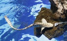 El curioso tiburón cebra