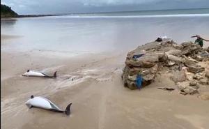 Aparecen 17 delfines varados en Cantabria, de los que 14 están muertos