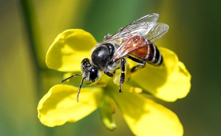 La polinización de las abejas