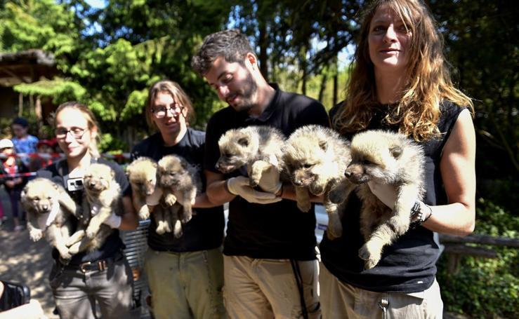 Cachorros de lobo blanco
