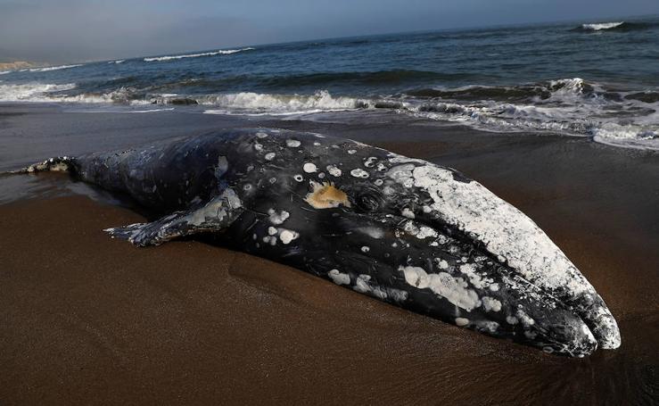 Las muertes de ballenas en la costa del Pacífico de EE.UU. alertan a la comunidad científica