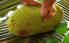 La fruta más grande del mundo: jackfruit