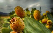 El higo chumbo, la 'pera de cactus'