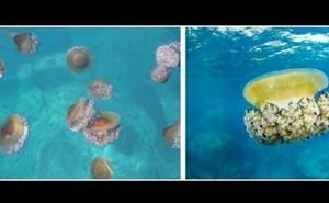 El CSIC alerta del aumento de medusas en España