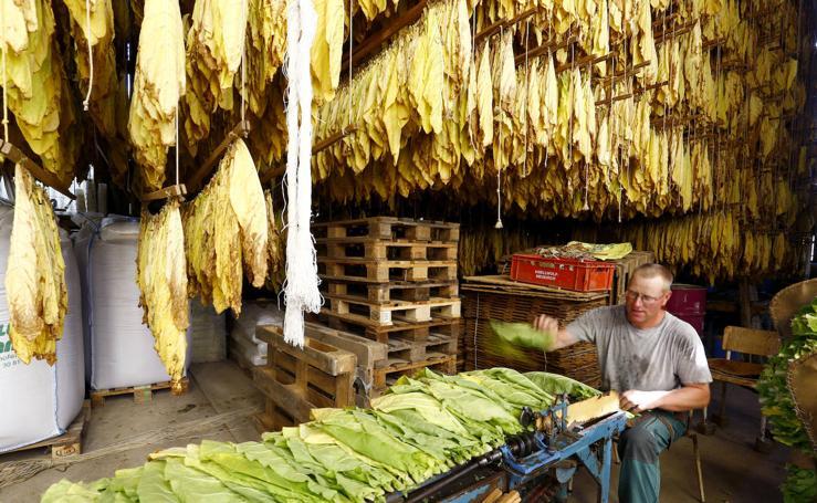 Una plantación de tabaco en Suiza
