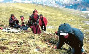 El viagra del Himalaya