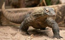 El secreto que guarda el corazón del dragón de Komodo