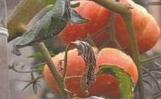 Numerosas actividades para la semana del tomate del 16 al 21 de septiembre