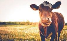 El misterio tras la muerte de centenares de vacas francesas