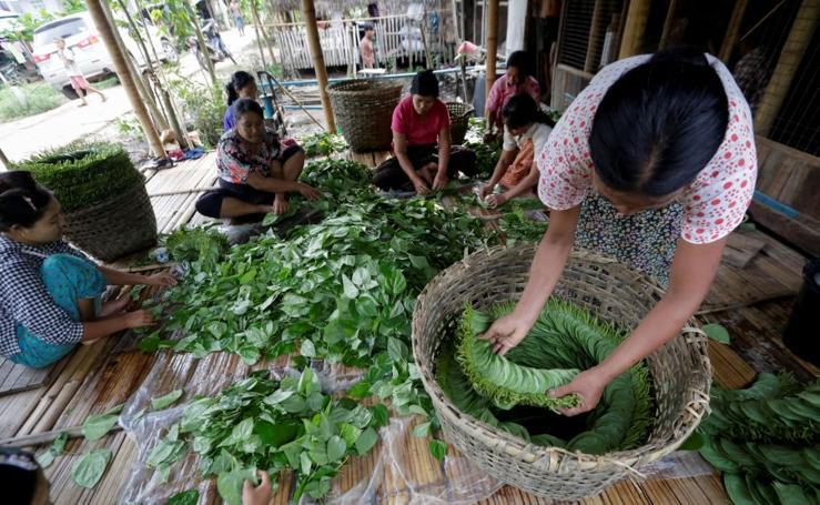 Cultivo de betel en Birmania
