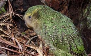 Las aves de Nueva Zelanda necesitarán 50 millones de años para recuperarse de los daños del hombre