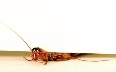 Crean un robot-cucaracha que sigue funcionando aunque lo aplastes