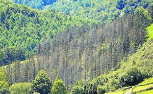El tratamiento de los pinos solo ha podido aplicarse en 123 hectáreas en Gipuzkoa