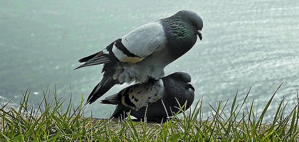 El Ayuntamiento de Donostia ha capturado 5.200 palomas desde 2015 para controlar su población