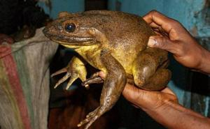 La rana que pesa como un gato y construye «piscinas» para sus crías