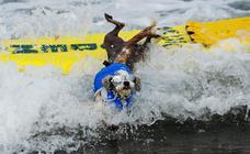 En busca del mejor perro surfista