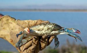 El cangrejo azul, ¿nueva especie invasora?