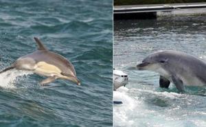 Hallan en la Bahía de Algeciras el primer delfín híbrido del mundo
