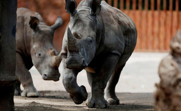 Salvemos al rinocerante blanco