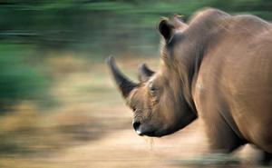Un diente de rinoceronte podría resolver los misterios de la evolución