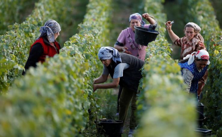 Recolecta de uvas para hacer champán