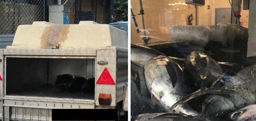 Transporta casi una tonelada de bonito en un remolque para perros desde Bilbao a Vitoria