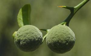 El yuzu, el exótico cítrico aromático de Japón