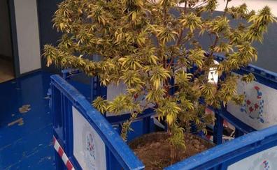 Incautan en Navarra una planta de marihuana de más de 2 metros de altura en la casa de una mujer de 93 años