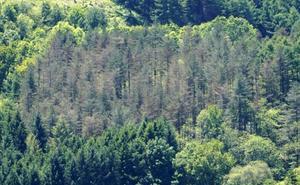 La mejora de la meteorología este año frena el avance de la 'banda marrón' en los pinares de Gipuzkoa