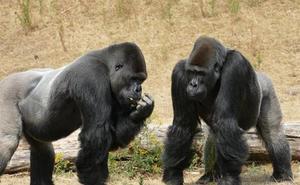 Los grandes simios adivinan lo que estás pensando