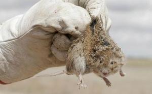 Claves para evitar la tularemia, la enfermedad que pasa de los roedores a los humanos