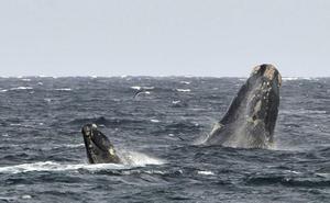 Las ballenas adaptan su comunicación para proteger a sus crias