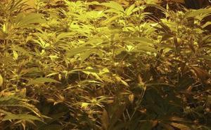 Desmantelada una plantación de marihuana localizada en un caserío de Aizarnazabal