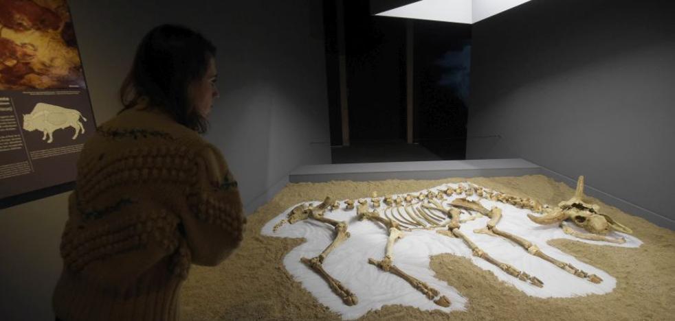 El bisonte de la última glaciación vuelve a tomar forma en el Museo San Telmo de San Sebastián