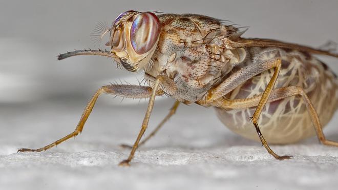 Investigan si la mosca tsé-tsé puede curar la enfermedad del sueño