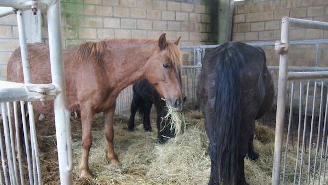 Prisión para ocho personas por comercializar carne de caballo no apta