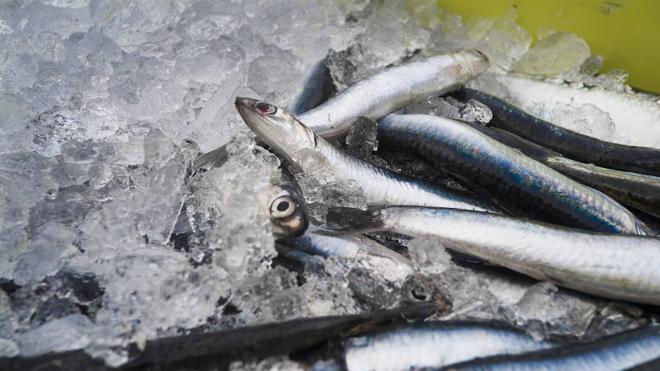 Azti calcurará la biomasa de anchoa en el Golfo de Bizkaia